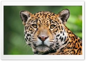 Jaguar Face HD Wide Wallpaper for Widescreen