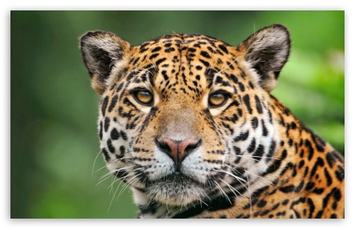 Jaguar Face ❤ 4K UHD Wallpaper for Wide 16:10 5:3 Widescreen WHXGA WQXGA WUXGA WXGA WGA ; 4K UHD 16:9 Ultra High Definition 2160p 1440p 1080p 900p 720p ; UHD 16:9 2160p 1440p 1080p 900p 720p ; Standard 4:3 5:4 3:2 Fullscreen UXGA XGA SVGA QSXGA SXGA DVGA HVGA HQVGA ( Apple PowerBook G4 iPhone 4 3G 3GS iPod Touch ) ; Tablet 1:1 ; iPad 1/2/Mini ; Mobile 4:3 5:3 3:2 16:9 5:4 - UXGA XGA SVGA WGA DVGA HVGA HQVGA ( Apple PowerBook G4 iPhone 4 3G 3GS iPod Touch ) 2160p 1440p 1080p 900p 720p QSXGA SXGA ;