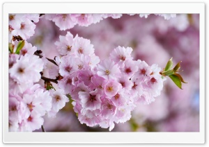 Japanese Cherry Blossom Ultra HD Wallpaper for 4K UHD Widescreen desktop, tablet & smartphone
