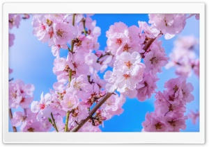 Japanese Cherry Blossom, Blue Sky, Springtime HD Wide Wallpaper for 4K UHD Widescreen desktop & smartphone