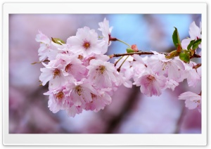 Japanese Cherry Blossom Close-up HD Wide Wallpaper for 4K UHD Widescreen desktop & smartphone