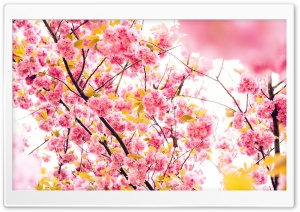 Japanese Cherry Blossom Tree HD Wide Wallpaper for Widescreen