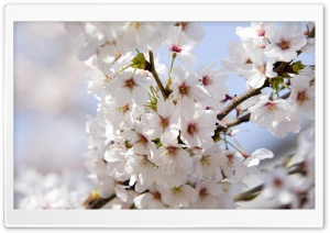 Japanese Cherry Blossoms HD Wide Wallpaper for Widescreen
