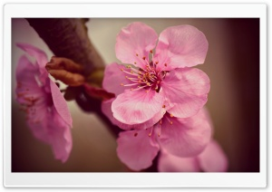 Japanese Cherry Blossoms Macro Ultra HD Wallpaper for 4K UHD Widescreen desktop, tablet & smartphone