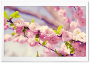 Japanese Cherry Tree HD Wide Wallpaper for Widescreen
