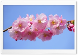 Japanese Cherry Tree Blossoms HD Wide Wallpaper for 4K UHD Widescreen desktop & smartphone