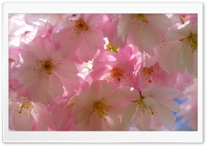 Japanese Cherry Trees HD Wide Wallpaper for 4K UHD Widescreen desktop & smartphone