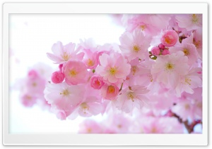 Japanese Cherry Trees in Bloom HD Wide Wallpaper for Widescreen