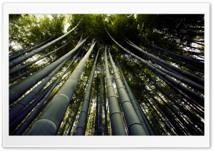 Japanese Giant Bamboo HD Wide Wallpaper for Widescreen