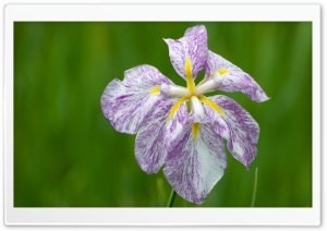 Japanese Iris HD Wide Wallpaper for Widescreen