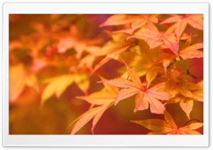 Japanese Maple HD Wide Wallpaper for Widescreen