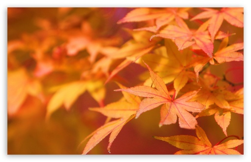 Japanese Maple ❤ 4K UHD Wallpaper for Wide 16:10 5:3 Widescreen WHXGA WQXGA WUXGA WXGA WGA ; 4K UHD 16:9 Ultra High Definition 2160p 1440p 1080p 900p 720p ; Standard 4:3 5:4 3:2 Fullscreen UXGA XGA SVGA QSXGA SXGA DVGA HVGA HQVGA ( Apple PowerBook G4 iPhone 4 3G 3GS iPod Touch ) ; Tablet 1:1 ; iPad 1/2/Mini ; Mobile 4:3 5:3 3:2 16:9 5:4 - UXGA XGA SVGA WGA DVGA HVGA HQVGA ( Apple PowerBook G4 iPhone 4 3G 3GS iPod Touch ) 2160p 1440p 1080p 900p 720p QSXGA SXGA ;