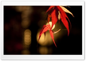 Japanese Maple Bokeh HD Wide Wallpaper for Widescreen