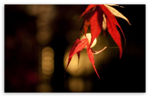 Japanese Maple Bokeh HD wallpaper for Wide 16:10 5:3 Widescreen WHXGA WQXGA WUXGA WXGA WGA ; HD 16:9 High Definition WQHD QWXGA 1080p 900p 720p QHD nHD ; Standard 4:3 5:4 3:2 Fullscreen UXGA XGA SVGA QSXGA SXGA DVGA HVGA HQVGA devices ( Apple PowerBook G4 iPhone 4 3G 3GS iPod Touch ) ; Tablet 1:1 ; iPad 1/2/Mini ; Mobile 4:3 5:3 3:2 16:9 5:4 - UXGA XGA SVGA WGA DVGA HVGA HQVGA devices ( Apple PowerBook G4 iPhone 4 3G 3GS iPod Touch ) WQHD QWXGA 1080p 900p 720p QHD nHD QSXGA SXGA ;
