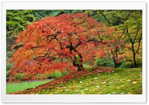 Japanese Maple In Fall, Portland, Oregon HD Wide Wallpaper for 4K UHD Widescreen desktop & smartphone