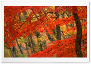 Japanese Maple, Japan HD Wide Wallpaper for 4K UHD Widescreen desktop & smartphone