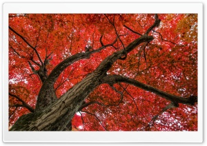 Japanese Maple, Late Autumn Scene HD Wide Wallpaper for Widescreen