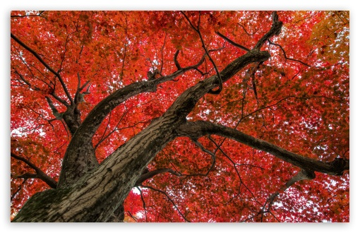 Japanese Maple, Late Autumn Scene HD wallpaper for Standard 4:3 5:4 Fullscreen UXGA XGA SVGA QSXGA SXGA ; Wide 16:10 5:3 Widescreen WHXGA WQXGA WUXGA WXGA WGA ; HD 16:9 High Definition WQHD QWXGA 1080p 900p 720p QHD nHD ; Other 3:2 DVGA HVGA HQVGA devices ( Apple PowerBook G4 iPhone 4 3G 3GS iPod Touch ) ; Mobile VGA WVGA iPhone iPad PSP Phone - VGA QVGA Smartphone ( PocketPC GPS iPod Zune BlackBerry HTC Samsung LG Nokia Eten Asus ) WVGA WQVGA Smartphone ( HTC Samsung Sony Ericsson LG Vertu MIO ) HVGA Smartphone ( Apple iPhone iPod BlackBerry HTC Samsung Nokia ) Sony PSP Zune HD Zen ; Tablet 2 Android 3 DVGA HVGA HQVGA devices ( Apple PowerBook G4 iPhone 4 3G 3GS iPod Touch ) ; Dual 4:3 5:4 16:10 5:3 16:9 UXGA XGA SVGA QSXGA SXGA WHXGA WQXGA WUXGA WXGA WGA WQHD QWXGA 1080p 900p 720p QHD nHD ;