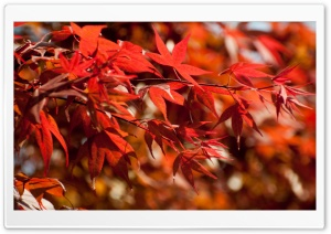 Japanese Maple Leaves HD Wide Wallpaper for 4K UHD Widescreen desktop & smartphone