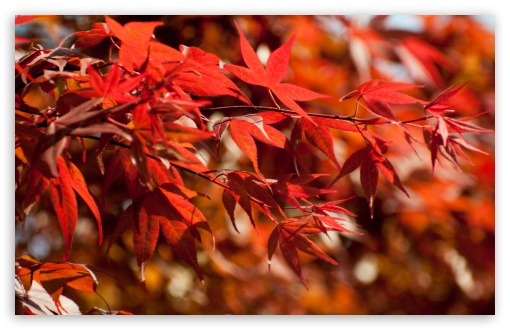 Japanese Maple Leaves ❤ 4K UHD Wallpaper for Wide 16:10 5:3 Widescreen WHXGA WQXGA WUXGA WXGA WGA ; 4K UHD 16:9 Ultra High Definition 2160p 1440p 1080p 900p 720p ; Standard 4:3 5:4 3:2 Fullscreen UXGA XGA SVGA QSXGA SXGA DVGA HVGA HQVGA ( Apple PowerBook G4 iPhone 4 3G 3GS iPod Touch ) ; Tablet 1:1 ; iPad 1/2/Mini ; Mobile 4:3 5:3 3:2 16:9 5:4 - UXGA XGA SVGA WGA DVGA HVGA HQVGA ( Apple PowerBook G4 iPhone 4 3G 3GS iPod Touch ) 2160p 1440p 1080p 900p 720p QSXGA SXGA ;
