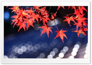 Japanese Maple Leaves Bokeh HD Wide Wallpaper for 4K UHD Widescreen desktop & smartphone