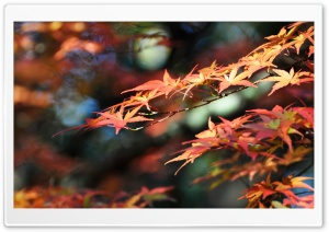 Japanese Maple Leaves, Fall Colors HD Wide Wallpaper for Widescreen