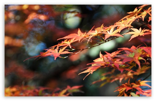 Japanese Maple Leaves, Fall Colors HD wallpaper for Wide 16:10 5:3 Widescreen WHXGA WQXGA WUXGA WXGA WGA ; HD 16:9 High Definition WQHD QWXGA 1080p 900p 720p QHD nHD ; Standard 4:3 5:4 3:2 Fullscreen UXGA XGA SVGA QSXGA SXGA DVGA HVGA HQVGA devices ( Apple PowerBook G4 iPhone 4 3G 3GS iPod Touch ) ; Smartphone 5:3 WGA ; Tablet 1:1 ; iPad 1/2/Mini ; Mobile 4:3 5:3 3:2 16:9 5:4 - UXGA XGA SVGA WGA DVGA HVGA HQVGA devices ( Apple PowerBook G4 iPhone 4 3G 3GS iPod Touch ) WQHD QWXGA 1080p 900p 720p QHD nHD QSXGA SXGA ;