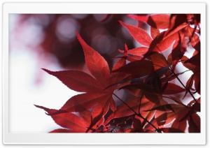 Japanese Maple Leaves Spring HD Wide Wallpaper for 4K UHD Widescreen desktop & smartphone