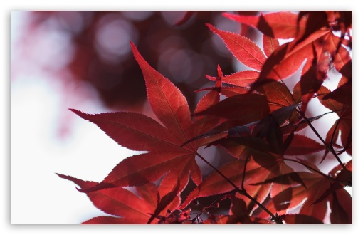 Japanese Maple Leaves Spring HD wallpaper for Wide 16:10 5:3 Widescreen WHXGA WQXGA WUXGA WXGA WGA ; HD 16:9 High Definition WQHD QWXGA 1080p 900p 720p QHD nHD ; UHD 16:9 WQHD QWXGA 1080p 900p 720p QHD nHD ; Standard 4:3 5:4 3:2 Fullscreen UXGA XGA SVGA QSXGA SXGA DVGA HVGA HQVGA devices ( Apple PowerBook G4 iPhone 4 3G 3GS iPod Touch ) ; Tablet 1:1 ; iPad 1/2/Mini ; Mobile 4:3 5:3 3:2 16:9 5:4 - UXGA XGA SVGA WGA DVGA HVGA HQVGA devices ( Apple PowerBook G4 iPhone 4 3G 3GS iPod Touch ) WQHD QWXGA 1080p 900p 720p QHD nHD QSXGA SXGA ;