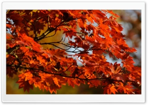 Japanese Maple Tree HD Wide Wallpaper for Widescreen