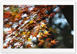 Japanese Maple Tree Bokeh HD Wide Wallpaper for 4K UHD Widescreen desktop & smartphone
