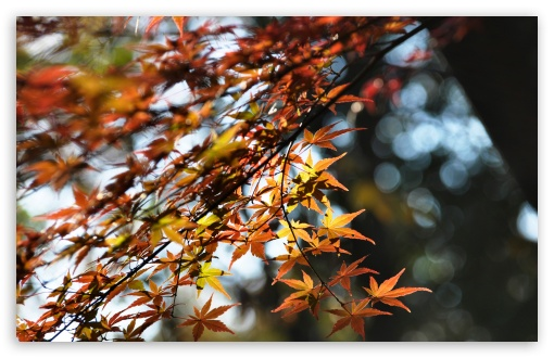 Japanese Maple Tree Bokeh ❤ 4K UHD Wallpaper for Wide 16:10 5:3 Widescreen WHXGA WQXGA WUXGA WXGA WGA ; 4K UHD 16:9 Ultra High Definition 2160p 1440p 1080p 900p 720p ; Standard 4:3 5:4 3:2 Fullscreen UXGA XGA SVGA QSXGA SXGA DVGA HVGA HQVGA ( Apple PowerBook G4 iPhone 4 3G 3GS iPod Touch ) ; iPad 1/2/Mini ; Mobile 4:3 5:3 3:2 16:9 5:4 - UXGA XGA SVGA WGA DVGA HVGA HQVGA ( Apple PowerBook G4 iPhone 4 3G 3GS iPod Touch ) 2160p 1440p 1080p 900p 720p QSXGA SXGA ;