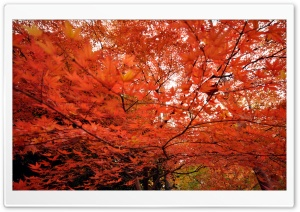 Japanese Maple Trees HD Wide Wallpaper for Widescreen