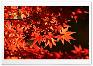 Japanese Maple Trees, Autumn Ultra HD Wallpaper for 4K UHD Widescreen desktop, tablet & smartphone