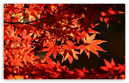 Japanese Maple Trees, Autumn HD wallpaper for Wide 16:10 5:3 Widescreen WHXGA WQXGA WUXGA WXGA WGA ; HD 16:9 High Definition WQHD QWXGA 1080p 900p 720p QHD nHD ; Standard 4:3 5:4 3:2 Fullscreen UXGA XGA SVGA QSXGA SXGA DVGA HVGA HQVGA devices ( Apple PowerBook G4 iPhone 4 3G 3GS iPod Touch ) ; Smartphone 5:3 WGA ; Tablet 1:1 ; iPad 1/2/Mini ; Mobile 4:3 5:3 3:2 16:9 5:4 - UXGA XGA SVGA WGA DVGA HVGA HQVGA devices ( Apple PowerBook G4 iPhone 4 3G 3GS iPod Touch ) WQHD QWXGA 1080p 900p 720p QHD nHD QSXGA SXGA ;