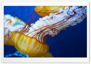 Japanese Sea Nettle HD Wide Wallpaper for 4K UHD Widescreen desktop & smartphone