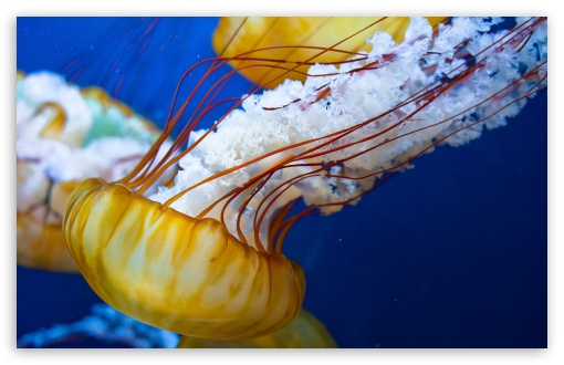 Japanese Sea Nettle HD wallpaper for Wide 16:10 5:3 Widescreen WHXGA WQXGA WUXGA WXGA WGA ; HD 16:9 High Definition WQHD QWXGA 1080p 900p 720p QHD nHD ; UHD 16:9 WQHD QWXGA 1080p 900p 720p QHD nHD ; Standard 4:3 5:4 3:2 Fullscreen UXGA XGA SVGA QSXGA SXGA DVGA HVGA HQVGA devices ( Apple PowerBook G4 iPhone 4 3G 3GS iPod Touch ) ; Tablet 1:1 ; iPad 1/2/Mini ; Mobile 4:3 5:3 3:2 16:9 5:4 - UXGA XGA SVGA WGA DVGA HVGA HQVGA devices ( Apple PowerBook G4 iPhone 4 3G 3GS iPod Touch ) WQHD QWXGA 1080p 900p 720p QHD nHD QSXGA SXGA ;
