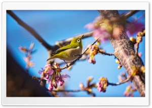 Japanese White Eye Bird HD Wide Wallpaper for Widescreen