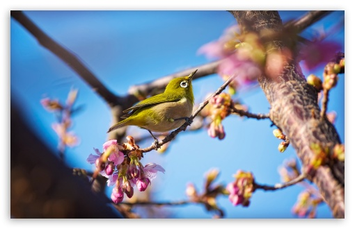 Japanese White Eye Bird HD wallpaper for Wide 16:10 5:3 Widescreen WHXGA WQXGA WUXGA WXGA WGA ; HD 16:9 High Definition WQHD QWXGA 1080p 900p 720p QHD nHD ; UHD 16:9 WQHD QWXGA 1080p 900p 720p QHD nHD ; Standard 4:3 5:4 3:2 Fullscreen UXGA XGA SVGA QSXGA SXGA DVGA HVGA HQVGA devices ( Apple PowerBook G4 iPhone 4 3G 3GS iPod Touch ) ; Tablet 1:1 ; iPad 1/2/Mini ; Mobile 4:3 5:3 3:2 16:9 5:4 - UXGA XGA SVGA WGA DVGA HVGA HQVGA devices ( Apple PowerBook G4 iPhone 4 3G 3GS iPod Touch ) WQHD QWXGA 1080p 900p 720p QHD nHD QSXGA SXGA ;