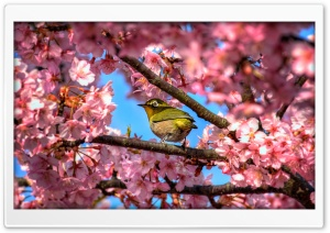 Japanese White Eye Hiding In Sakura HD Wide Wallpaper for Widescreen