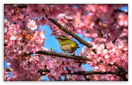 Japanese White Eye Hiding In Sakura HD wallpaper for Wide 16:10 5:3 Widescreen WHXGA WQXGA WUXGA WXGA WGA ; HD 16:9 High Definition WQHD QWXGA 1080p 900p 720p QHD nHD ; UHD 16:9 WQHD QWXGA 1080p 900p 720p QHD nHD ; Standard 4:3 5:4 3:2 Fullscreen UXGA XGA SVGA QSXGA SXGA DVGA HVGA HQVGA devices ( Apple PowerBook G4 iPhone 4 3G 3GS iPod Touch ) ; Tablet 1:1 ; iPad 1/2/Mini ; Mobile 4:3 5:3 3:2 16:9 5:4 - UXGA XGA SVGA WGA DVGA HVGA HQVGA devices ( Apple PowerBook G4 iPhone 4 3G 3GS iPod Touch ) WQHD QWXGA 1080p 900p 720p QHD nHD QSXGA SXGA ;
