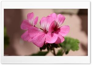 Jaraiban Flower HD Wide Wallpaper for 4K UHD Widescreen desktop & smartphone