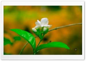 Jasmin HD Wide Wallpaper for Widescreen
