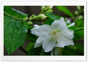Jasmine HD Wide Wallpaper for Widescreen