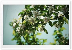 Jasmine Flowers HD Wide Wallpaper for Widescreen
