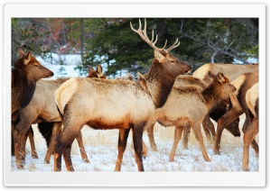Jasper National Park Wildlife HD Wide Wallpaper for Widescreen