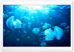 Jelly Fish HD Wide Wallpaper for Widescreen