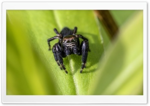 Jump Spider, Springspinne HD Wide Wallpaper for Widescreen