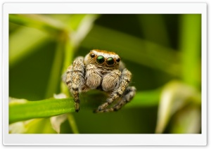 Jumper Spider On The Grass Macro HD Wide Wallpaper for Widescreen