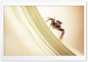 Jumping Spider HD Wide Wallpaper for Widescreen